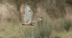 Short-eared Owl, Burwell Fen (KHR Images) Tags: shortearedowl short eared owl seo wild bird birdofprey hunting inflight flying stare eyes cambridgeshire fens eastanglia wildlife nature asioflammeus nikon d7100 kevinrobson khrimages