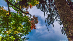 Looking Up (Ken Mickel) Tags: autumn desplanes fall illinois landscape outdoors parks plants topaz topazadjust tree trees citypark cityparks nature park photography
