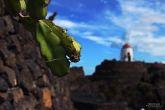 Kaktus (Patrick Scheuch Photography) Tags: lanzarote cactus kaktus kaktusgarten manrique kanaren kanarischeinseln islascanarias canaryislands canarias spanien spain espana europe europa eu sightseeing holidays urlaub bokeh canoneos600d canon landscape landschaft reise travel guatiza windmhle mhle mill windmill sommer summer