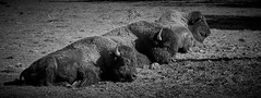 petite sieste au soleil (rondoudou87) Tags: bison parc zoo reynou pentax k1 nature natur wild wildlife noiretblanc noir blanc black blackwhite monochrome