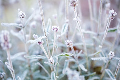 Frosty morning (janeway1973) Tags: frost morning morgen sugared gezuckert garden garten frosted ice eis raureif whitefrost colorful farbenfroh sun sonne sunshine sonnenschein bokeh macro makro