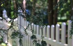 My Sister's Fence (Bella Lisa) Tags: pine fence northport fencedfriday