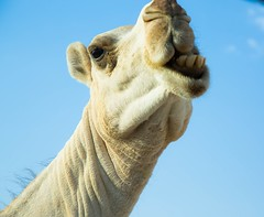MRS. Camel (abo-omar) Tags: animals desert camel saudi بعير صحراء ناقة