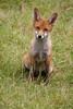 Red Fox at Devon Wildlife Rescue Centre. Taken on 19-06-2011 - 11_03_34.jpg (atthezoouk) Tags: camera canoneos350ddigital devonwildliferescuecentre redfox wolvesdogsfoxes zoos newtonabbot devon england zooanimals zoophotos