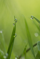 The beauty of just grass (Kariverb) Tags: summer macro green grass yellow drops dof mature morningdew