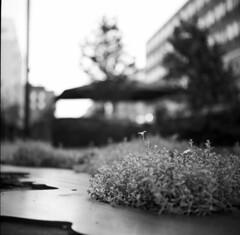 Street flower bokeh (A.Sundell) Tags: street old 6x6 tlr film vintage square blackwhite shadows superb kodak sweden bokeh tmax voigtlander streetphotography swedish d76 german uppsala epson medium format sverige analogue v600 voigtländer tmax100 twinlensreflex westgermany skopar gammal fixer uppland gatufoto uppsalalän voiglaender epsonv600 tmaxfix voigtländersuperb
