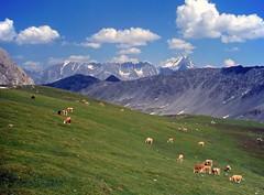 Combe de l'A con mucche al pascolo (giorgiorodano46) Tags: summer alpes schweiz switzerland estate cows suisse svizzera wallis valais swissalps mucche grandcombin lafouly pascolo alpeggio alpinepasture valdentremont vallese combedela