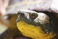 Paul (travisl4) Tags: old cold eye nature beautiful yellow outside paul outdoors gold blood woods skin turtle reptile shell sharp nostril swamp ear curious bog bulging carapace coldblooded bulgingeyes coldblood blandings blandingsturtle goldenthroat