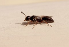 Passaloecus sp - 26 IX 2015 (el.gritche) Tags: hymenoptera france 40 garden crabronidae passaloecus wasp guepe