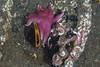 Kjedelig o-skjell og gul solstjerne (Linn Røkenes) Tags: dykking sjøstjerne skjell undervannsbilder altafjord oskjell kåfjord gulsolstjerne