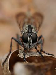 Robberfly (Machimus sp.) (-denju-) Tags: macro insect diy flash handheld makro insekt diffuser photomacrography raynoxdcr250 raubfliege nikond90 tamron60mm meikemk300
