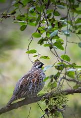 Pyy, Tetrastes bonasia, Hazel grouse (MatsOnni) Tags: birds pyy linnut hazelgrouse tetrastesbonasia
