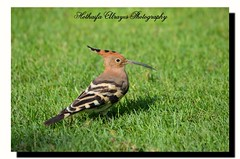 #  #_  #    # # #   # # #  #hoopoe #bird #birds #creek_park #creek_park_dubai #uae #sharjah #ajman #photography #myphoto #dslr #nikon #d5100 # # # (alrayes1977) Tags: bird birds photography nikon uae dslr myphoto sharjah hoopoe  ajman      creekpark       d5100 creekparkdubai