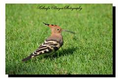 #هدهد في #حديقة_الخور في #دبي    #طير #طائر #طيور   #الإمارات #الشارقة #عجمان  #hoopoe #bird #birds #creek_park #creek_park_dubai #uae #sharjah #ajman #photography #myphoto #dslr #nikon #d5100 #تصوير #تصويري #فوتوغرافي (alrayes1977) Tags: bird birds photography nikon uae dslr myphoto sharjah hoopoe الإمارات ajman دبي تصوير تصويري الشارقة طير creekpark طيور حديقةالخور طائر عجمان هدهد فوتوغرافي d5100 creekparkdubai