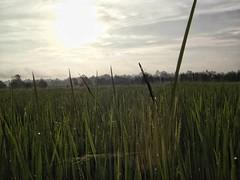 การจัดการกับ องค์ประกอบภาพ อาจจะออกมาไม่ดี แต่ผมกลับชอบภาพนี้มากมาย (ณ ท้องนาของผมเอง)...  (โครงสร้าง ๑๐๐ %) #พระอาทิตย์ขึ้น  #igRachunLapsiri #GaAxPhant #Kalasin #Kamalasai