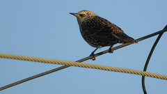 WIRES CROSSED (poppycocqu) Tags: sky bird animal outdoors wire starling telephonewires sturnidae passeri