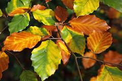 Autumn Colour (timku) Tags: autumn colour leaves leaf woods october middlesex beech harrowweald