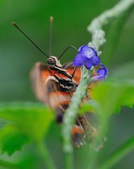 Dryatula Phaetusa JVA_1047 (mrjean.eu) Tags: sara sp atlas demi insectes attacus papillons heliconiinae deuil heliconius phaetusa dryatula
