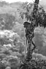 Subiendo (_Galle_) Tags: republica park miguel angel photography monkey mono photo asia republic foto photos south kerala national fotos sur macaco fotografia galle hindu hinduism fotgrafo hindi thekkady periyar fotografa photograper simio gallego inidia  periyarnationalpark hindou republicofindia hind republic hinduismo   gaarjya cheral bhrat bhratgaarjya miguelagallego miguelgallego miguelangelgallego repblicadelaindia cheralam