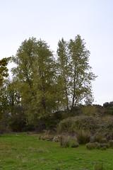 lamo Blanco (Populus Alba). Sierra Norte (Sevilla). (ngela Galiano Lorenzo) Tags: vegetacin fora geografafsica physicalgeography biogeografa biogeography vegetacinderibera sierranorte sevilla