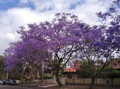 Jacarandas in Chatswood (SteveSeven77) Tags: australia nsw spring sky sydney jacaranda theentrance