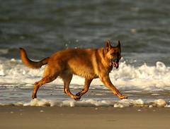 A stranger we met... (Jaedde & Sis) Tags: beach dog water shephard challengefactorywinner thechallengefactory challengeyouwinner bigmomma storybookwinner friendlychallenges bbq