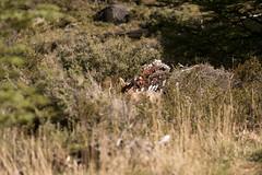 Bambi (annais) Tags: chile patagonia naturaleza trekking sur huemul