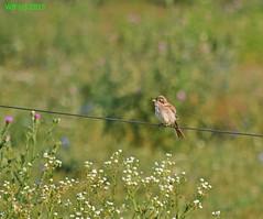 DSC_0063 vgott wb (bwagnerfoto) Tags: summer bird nature juvenile vogel shrike redbacked lanius jungtier collurio madr neuntter fika gbics regly tvisszr