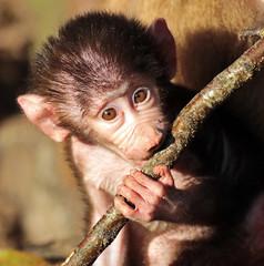 mantelbaviaan emmen JN6A9031 (j.a.kok) Tags: monkey baboon emmen baviaan papiohamadryas mantelbaviaan hamadryasbaboon