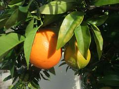 In the artist's garden (dese) Tags: november autumn orange fruit germany garden photo europa europe foto oranges frukt tyskland naranja haust pfalz hage deidesheim dese appelsin  knigsbach appelsna desefoto appelsinar 2015 november22