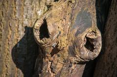 Augen auf im Neuen Jahr! [Explored] (fotomanni.de) Tags: augen baum baumgesicht mrzenbecherwald