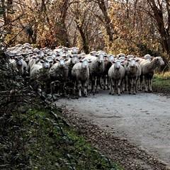 beeee (archifra -francesco de vincenzi-) Tags: square sheep flock moutons carré gruppo pecore molise isernia ovejas rebaño bucolico gregge transumanza armenti archifraisernia francescodevincenzi