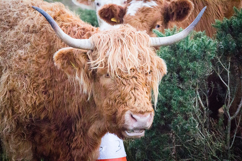 Highland Cow nr Portree