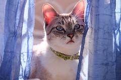 (Rodolfo_Felici) Tags: cats animals azzurro gatti animali gattine