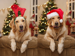 Sissi, 2015 (Tc photography. Per) Tags: christmas red dog pet cute dogs girl night goldenretriever 35mm canon happy lights golden navidad costume bokeh retriever kawaii paws doggie happychristmas papanoel doglover rodolf youngnuo tcphotography 35mmyoungnuo
