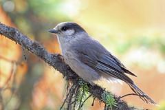 Grey Jay, Denali, Alaska (Terathopius) Tags: alaska denali greyjay perisoreuscanadensis denalicounty perisoreuscanadensispacificus