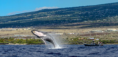 Whale Whatching (Wild Hawaii Ocean Adventures (WHOA)) Tags: whoa ourboat 2015 konacoast humbackwhale wildhawaiianoceanadventures 2016whaleseason