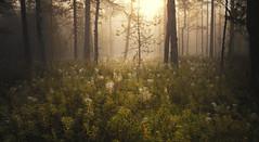 There's something in the air (Jyrki Salmi) Tags: jyrki salmi nikon d600 nikkor 2880mm pyhtää valkmusa finland swamp misty sun