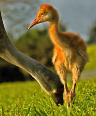 Fancy Colt - Peaceful Waters (QuakerVille) Tags: sandhillcrane crane largebird bird orangecolt chick peacefulwaters wetland preserve palmbeachcounty jonmarkdavey bigbird bluebird florida graybird greatblueheron heron wildlife wellington fl usa