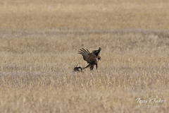 Red-tailed Hawk attacks Jackrabbit - Sequence - 3 of 8