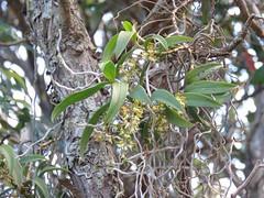 Plectorrhiza tridentata 8 (barryaceae) Tags: forster nsw australia macintosh street ausorchid ausrfp ausrfs australianrainforestplants australian rainforest plants species australianorchids orchid orchids new south wales ausrfps ausorchids