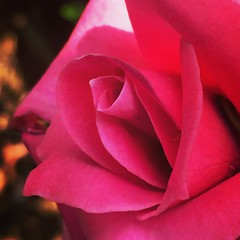 (Aini174) Tags: beauty nature roses flowers flower