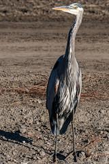 Great Blue and The Hunt (MelRoseJ) Tags: lodi california unitedstates sonyalpha sal70400g sony a77ii alpha autofocus nature birds woodbridgeecologicalreserve greatblueheron