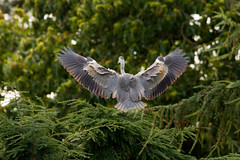 Grey Heron (7d.shooter) Tags: canon sigma 7d heron greyheron rspb sandy thelodge flight bird