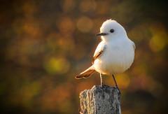 Xolmis irupero (Aisse Gaertner) Tags: xolmisirupero birdwatching bird brazil birdwatcher blinkagain nikon ngc p900 coolpix