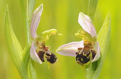 20160604-003F (m-klueber.de) Tags: 20160604003f 20160604 2016 mkbildkatalog europische mitteleuropische flora mainfranken unterfranken orchidee orchidaceae ophapif ophrys apifera sstr bienen ragwurz bienenragwurz