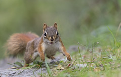 Running for peanuts! (tsandra996) Tags: squirrel cute run red green animal wildlife nature