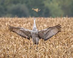 Sandhill Cranes (Jan Crites) Tags: bird crane sandhillcranes fall autumn indiana jasperpulaskifishandwildlifearea migration nature wildlife jancritesphotography october 2016