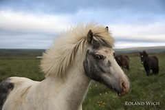 You lookin' at me ? (Rolandito.) Tags: iceland icelandic island pferd horse pony