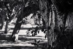 contrast trees (bjdewagenaar) Tags: black white blackandwhite blackwhite bw mono monochrome trees contrast minolta sony a58 alpha gorinchem holland dutch autumn nature perspective lines raw lightroom 50mm f14 dof
